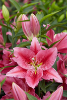 Image Talk of the Town Oriental Lily Collection (Tall)