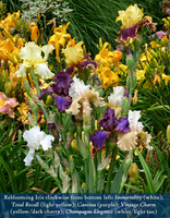 Image Summer Love Reblooming Iris Collection
