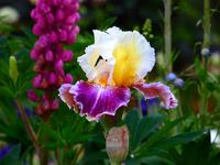 Image Plant a Palette of Color Iris Collection