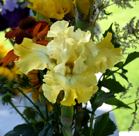 Image Hybridizer's Choice Three Reblooming Iris Collection