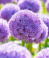 Image All In For Allium Collection