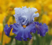 Image Boys of Summer Iris Collection