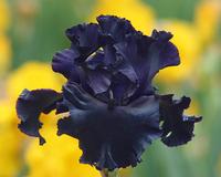 Image Dark as Night Iris Collection