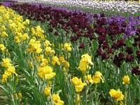 Image Public Wholesale Iris Offer