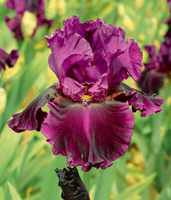 Image All 16 Choice Iris Collection