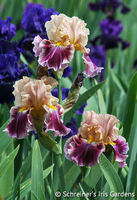 Image Favorite Fragrant Iris Collection