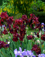 Image Shopper's Special Iris Collection