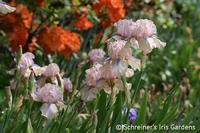 Image Median Rebloomers Iris Collection