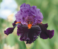 Image Pick of the Pack Iris Collection