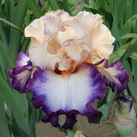 Image 5 Iris of the Year Iris Collection 2019