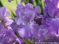 Image Laced and Lovely Iris Collection