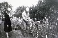 Image Antique Iris Collection