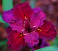 Image Wonderful Water Iris Collection