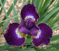 Image Simply Siberian Iris Collection