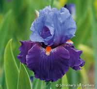 Image Purple Panache