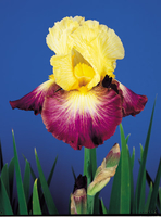 Image Happy Together Iris Collection