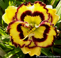 Image Pansy Face Charmer