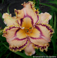 Image Catch A Star (Daylily)
