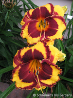 Image Fiesta Daylily Collection