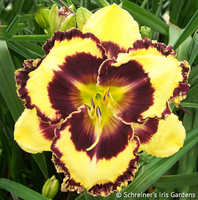 Image Create a Sensation Daylily Collection