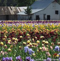 Image Bunch of Iris Blooms Grab Bag