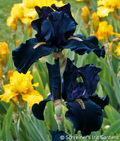 Image After Midnight Iris Collection