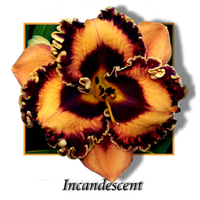 Image Heat of Summer Daylily Collection