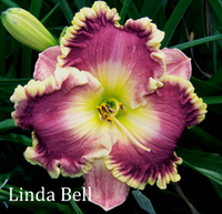 Image Evergreen and Semi-Evergreen Daylily Collection