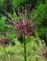 Image Tall Allium Collection Free Shipping