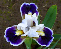 Image To the Nines Dwarf Iris Collection