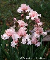 Image Pink Bubbles