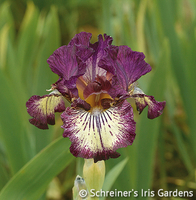 Image Intermediate Bearded Iris