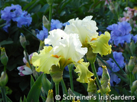 Image Tall Bearded Iris