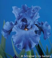 Image Yaquina Blue