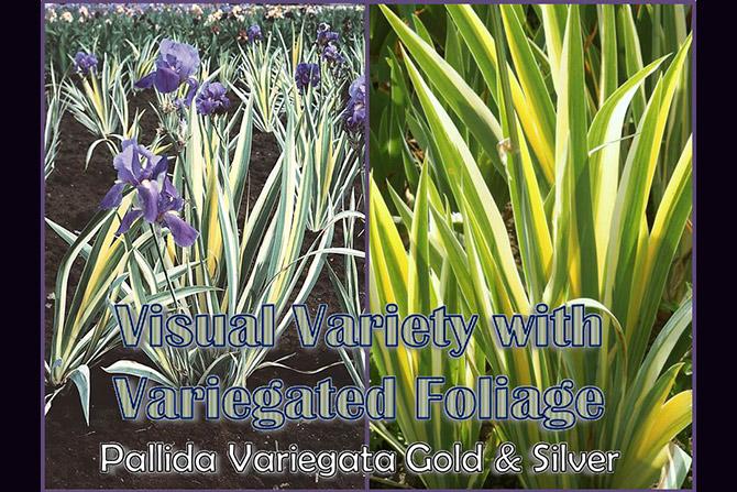 Pallida Variegata Gold and Silver