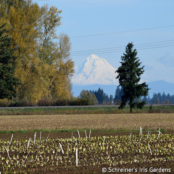 Our new Daylily field with Mt Hood in distance