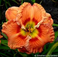 Lovin' Tennessee|Bill Maryott Daylilies