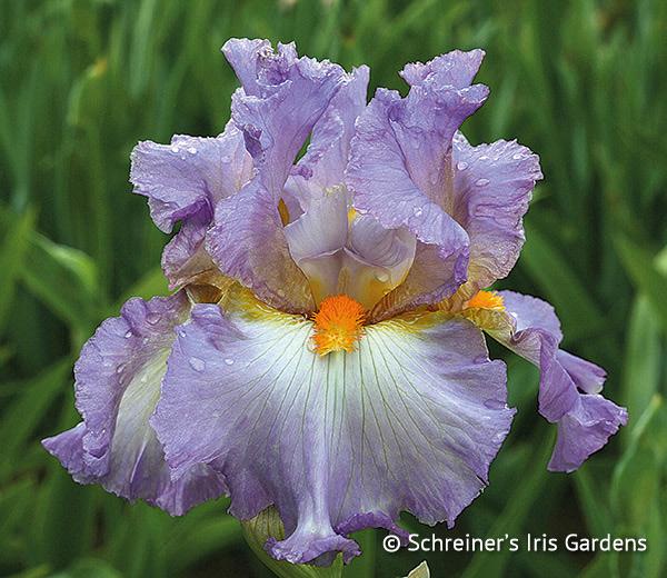 Free Iris | Oui Madame