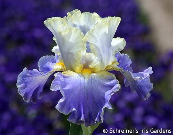 Tall Bearded Iris   Gilt-Edged Bond