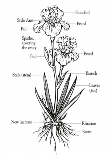 Bearded iris diagram learn more about iris bearded iris diagram ccuart Image collections