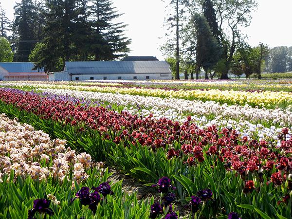 Schreiner Iris Gardens
