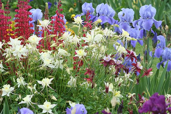 Grow Bearded Iris Bearded Iris Care